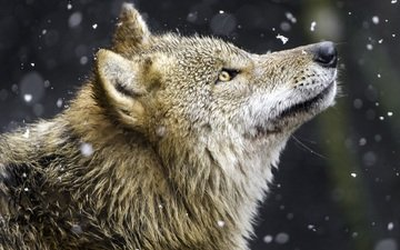 snow, predator, profile, wolf, yellow eyes