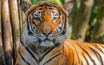 tiger, face, look, predator, wild cat