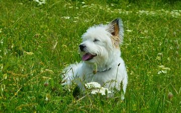 grass, muzzle, look, dog, puppy, language, the west highland white terrier