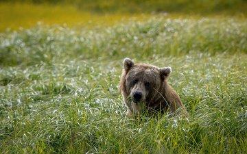 морда, трава, фон, поле, взгляд, медведь, голова