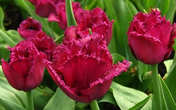 цветы, бутоны, листья, роса, тюльпаны, бордовые, крупным планом