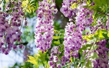 цветение, ветки, весна, акация