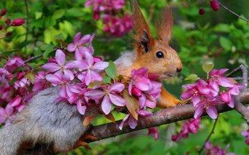 ветка, цветение, весна, белка, яблоня, белочка
