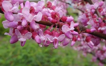 flowering, drops, spring, krasnodar, the european barannik, the european cercis, judas tree, baranik