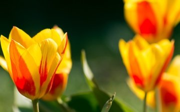 flowers, buds, petals, spring, tulips