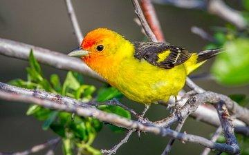 ветка, птица, клюв, перья, пиранга, красноголовая пиранга