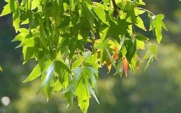 ветка, природа, листья, боке