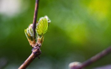 ветка, природа, листья, макро, весна, зеленый лист, боке