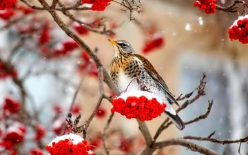 ветка, снег, природа, зима, ягода, птица, клюв, перья, рябина, дрозд
