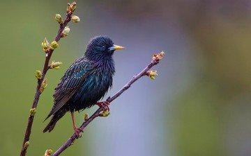 ветка, листья, птица, клюв, перья, почки, скворец