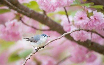 цветы, ветка, цветение, птица, клюв, перья, сакура, комароловка