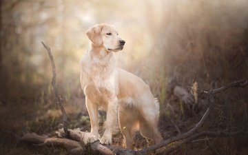 muzzle, branches, look, dog, bokeh, golden retriever