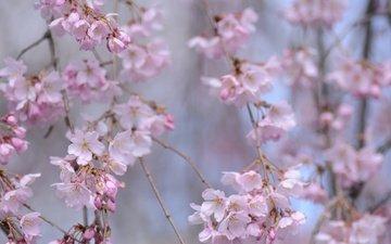 цветение, ветки, весна, сакура, боке