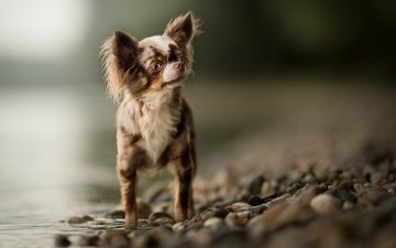 water, stones, muzzle, look, dog, puppy, bokeh, chihuahua
