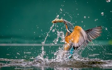 вода, крылья, брызги, птица, рыба, добыча, зимородок