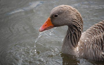 water, drops, bird, beak, feathers, goose