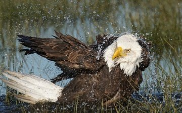 water, drops, eagle, predator, bird, beak, feathers, bald eagle