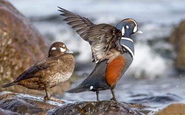 вода, камни, крылья, птицы, клюв, пара, утка, каменушка