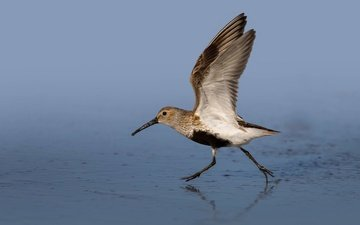 water, wings, bird, beak, dunlin
