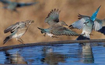 water, reflection, wings, birds, beak, feathers, pack, blue sialia