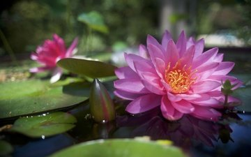 цветы, вода, бутоны, листья, лепестки, кувшинки, водяная лилия