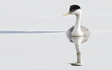 water, reflection, bird, beak, feathers, the great crested grebe, toadstool