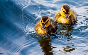 вода, птицы, клюв, парочка, перья, утята, утки, птенцы
