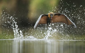 water, flight, drops, wings, squirt, bat, mammal, bats, siberian, flying fox