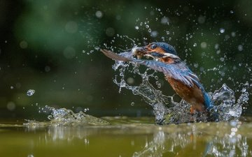 water, flight, drops, wings, squirt, bird, fish, kingfisher, catch