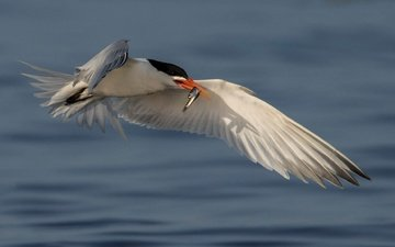 water, flight, wings, bird, beak, fish, catch, tern