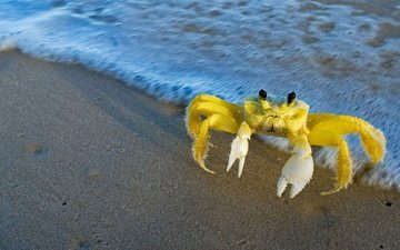 water, nature, shore, crab, claws, atlantic crab-ghost