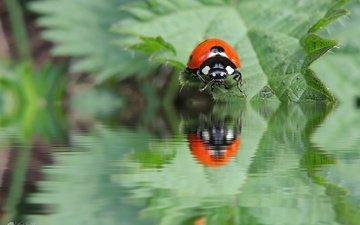 вода, природа, листья, насекомое, отражение, божья коровка