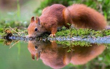 вода, природа, отражение, водоем, мох, животное, белка, зверек, водопой, грызун