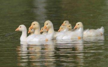 вода, птицы, пруд, птенцы, гуси, плывут, гусята