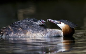water, chick, birds, profile, bird, great crested grebe, the great crested grebe