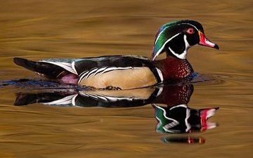 water, reflection, bird, beak, feathers, duck, wood duck