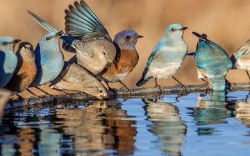 water, reflection, birds, beak, feathers, blue sialia, western sialia