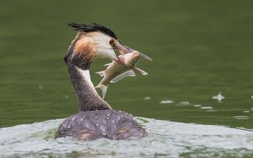 water, bird, beak, feathers, fish, catch, great crested grebe, the great crested grebe