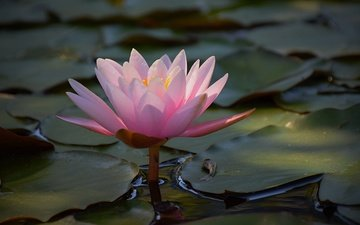 water, leaves, flower, petals, lily, water lily