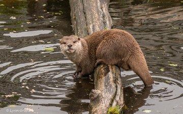 face, water, look, log, otter, lynn griffiths