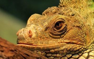 look, lizard, head, reptile, iguana