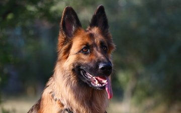 muzzle, look, dog, each, language, german shepherd