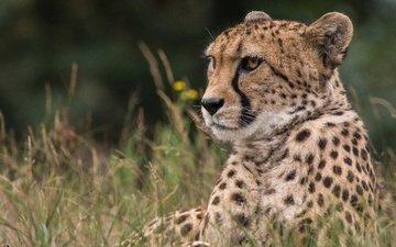 face, grass, look, predator, cheetah, wild cat