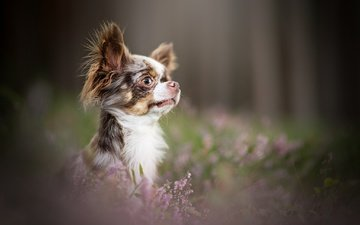 flowers, muzzle, look, dog, puppy, profile, face, bokeh, heather, chihuahua