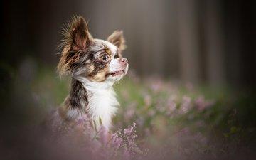 цветы, мордочка, взгляд, собака, щенок, профиль, мордашка, боке, вереск, чихуахуа
