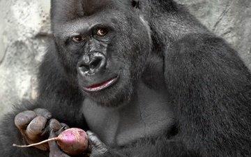глаза, взгляд, обезьяна, горилла, свекла