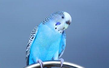 взгляд, птица, клюв, перья, попугай, волнистый попугай