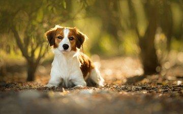 muzzle, look, dog, blur, puppy, bokeh, kooikerhondje