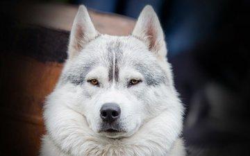 мордочка, взгляд, собака, хаски, друг, сибирский хаски