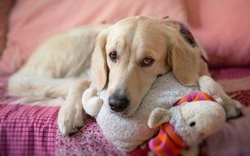 мордочка, взгляд, собака, лежит, игрушка, постель, золотистый ретривер